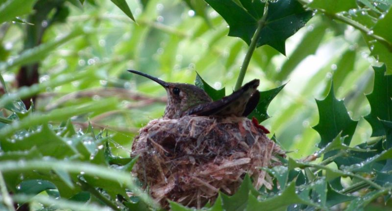 Hummingbird nest outside our window, Hollywood, California